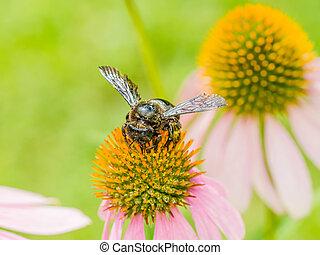 Bumble Bee Gathering Polen