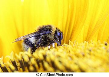 bumble-bee, girassol, sentando