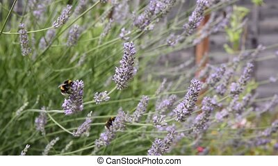 Bumble bee lavender in the wind
