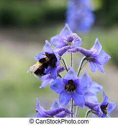 Bumble bee on a Candle Larkspur