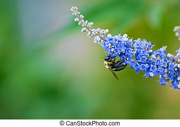 Bumble bee on a chaste vitex tree