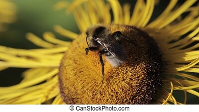 Bumble bee on a flower macro shot