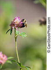 Bumble Bee on a Flower - A bumble bee collecting pollen on a...