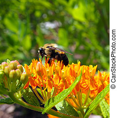 Bumble Bee on Butterfly Milkweed Flower