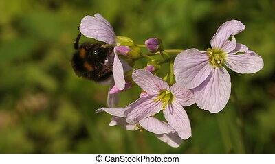 bumble bee on cuckoo flower