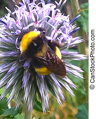 Bumble Bee on flower - Bumble Bee on purple flower