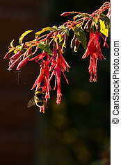 Bumble bee on Fuchsia flowers