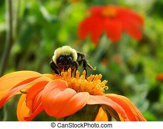 Bumble Bee on Orange Flower Closeup