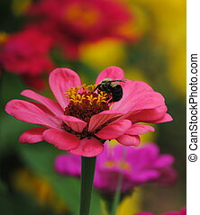 Bumble Bee on Pink Flower