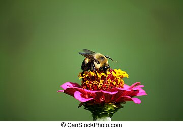 Bumble Bee on Pink Zinnia Flower