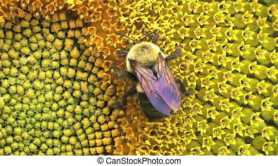 Bumble Bee on Sunflower 02