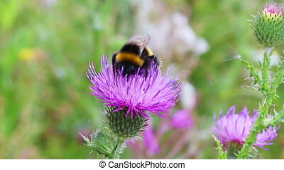 bumble-bee on thistle flower close-