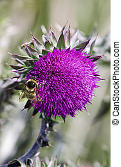 Bumble Bee on Thistle - The Nodding Thistle (Carduus nutans)...