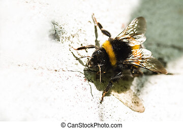 Bumble bee on white painted stone wall
