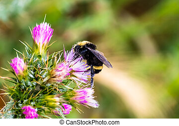 Bumble bee pollinating a Slender Thistle (Carduus tenuiflorus) flower; blurred background; south San Francisco bay area, California