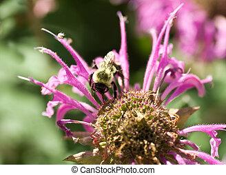 Bumble Bee Pollinating Pink Bee Balm Flower Genus Monarda