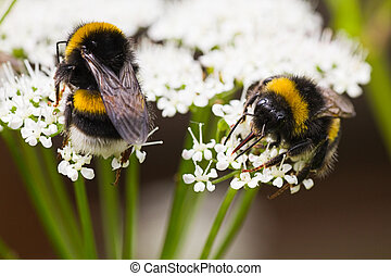 Bumble bees on flowers in summer busy gathering nectar