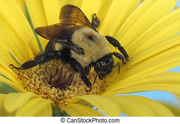 bumble, fleur, jaune, abeille