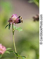 bumble, flor, abeja