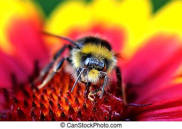 bumble, gros plan, abeille