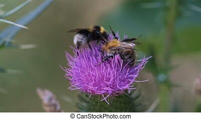 Bumblebee annoys the second one - Bumblebees on a thistle,...