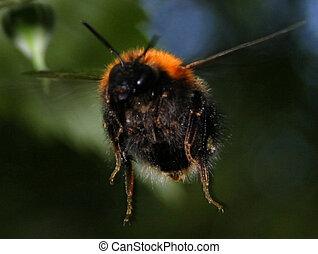 bumblebee, apidae, família