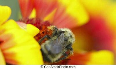 Bumblebee at work.