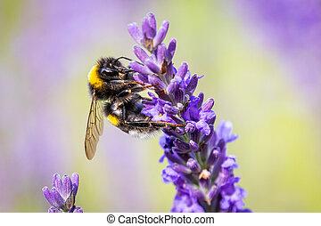 Bumblebee (Bombus) on Lavender (Lavandula)