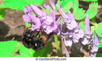 bumblebee - bumble bee collects nectar