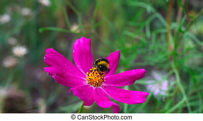Bumblebee. - Bumblebee on a Cosmos flower.