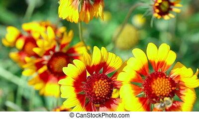 Bumblebee on a flower gailardia.
