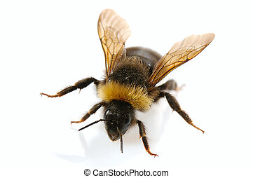 bumblebee close-up on white background