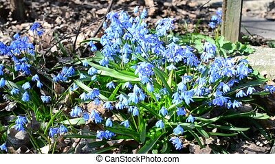 Bumblebee collecting nectar or pollen from Siberian squill -...