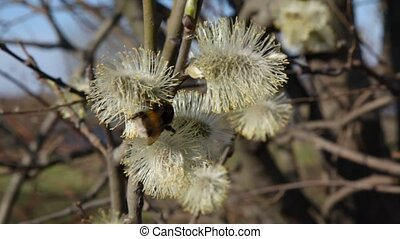 bumblebee collecting pollen from buds - bumblebee collecting...