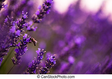bumblebee collecting pollen from one of the lavender flower