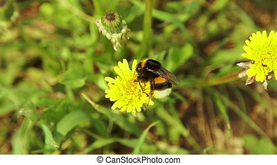 Bumblebee collecting pollen from the yellow dandelion...