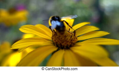 Bumblebee collects nectar from flowers, slow motion.
