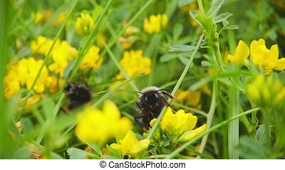 Bumblebee collects nectar from flowers, slow motion 500fps