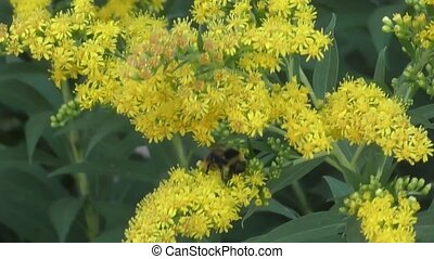 Bumblebee collects nectar