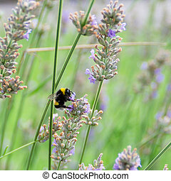 Bumblebee collects nectar on lavender
