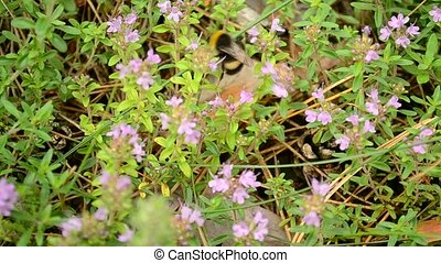 Bumblebee collects pollen from wild thyme flowers -...