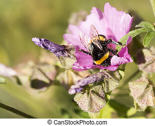 Bumblebee Covered in Pollen Gathering Nectar