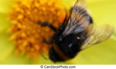 bumblebee creeps to flower - bumblebee creeps to yellow...