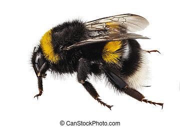 bumblebee, espécie, bombus, terrestris