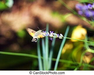 Bumblebee feeding