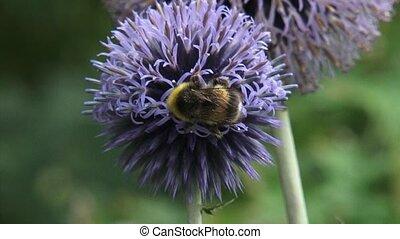 Bumblebee feeds on nectar Globe Thistle (echinops ritro) - close up