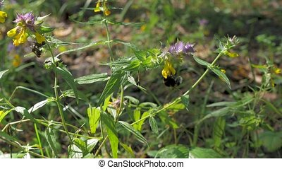 Bumblebee flies on flowers, in the forest. On a sunny summer day.