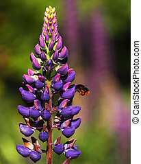 Bumblebee flying near the Flowers lupine blue at grass