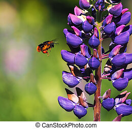 Bumblebee flying near the Flowers lupine blue at the green grass