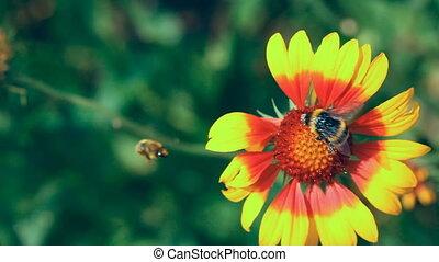 Bumblebee.